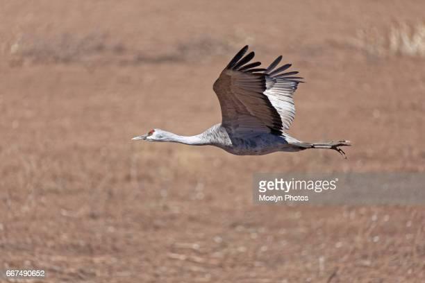 sandhill crane flight - arizona bird stock pictures, royalty-free photos & images