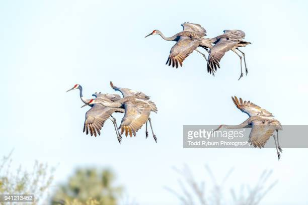 sandhill crane flock preparing to land - カナダヅル ストックフォトと画像