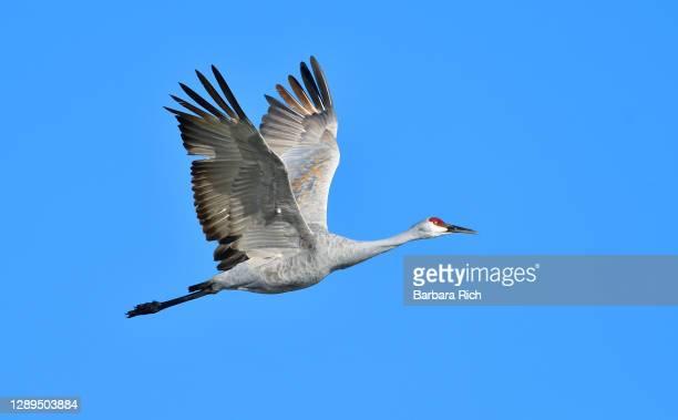sandhill crane in flight during winter migration along the pacific flyway across llano seco national wildlife refuge - カナダヅル ストックフォトと画像