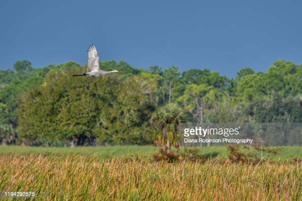 sandhill crane in flight over the marsh in the early morning light at harns marsh near lehigh acres, fort myers, southwest, florida - フォートマイヤーズ ストックフォトと画像