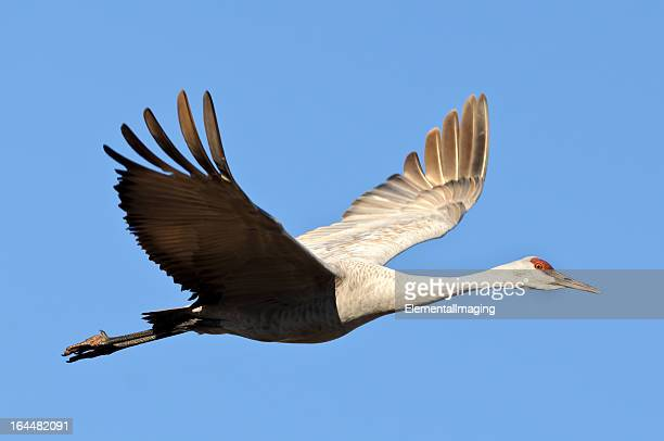Sandhill Crane (Grus Canadensis) Isolated on a Blue Sky