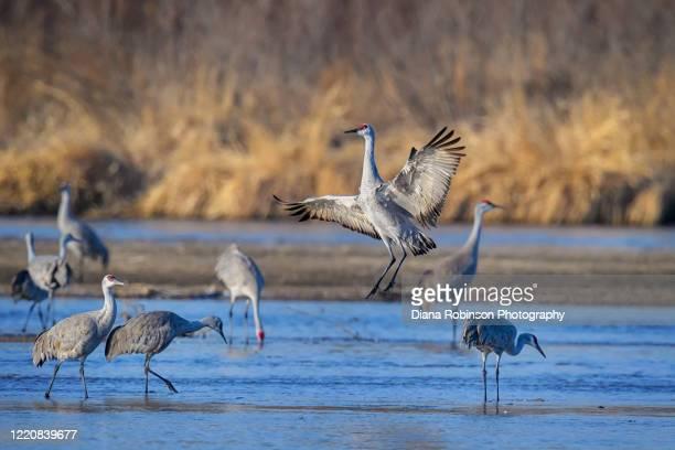 a sandhill crane jumps up from a sandbar on the platte river near kearney, nebraska - カナダヅル ストックフォトと画像
