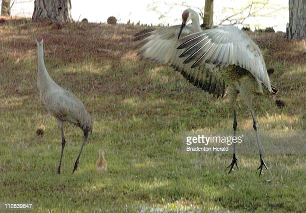 Sandhill Crane leaps into the air as it looks for food with its young, just three days old, March 16 just north of State Road 70 in East Manatee...
