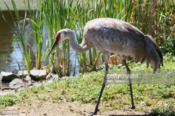 sandhill crane - barry crane stock photos and pictures