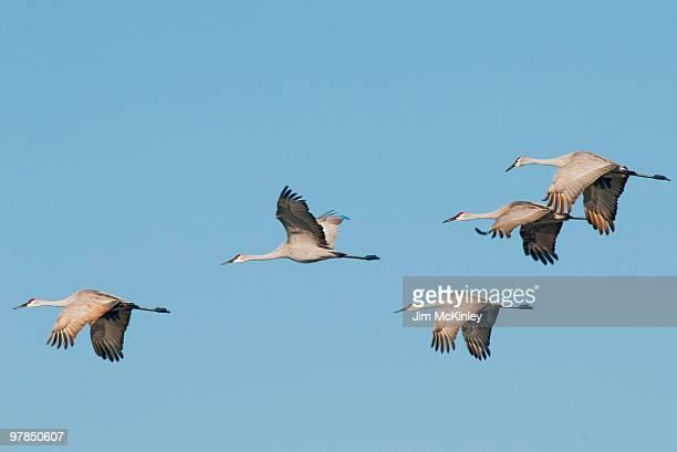 sandhill crane - lakeland florida stock pictures, royalty-free photos & images