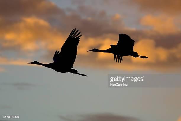 sandhill crane silhouettes in flight - crane bird stock photos and pictures