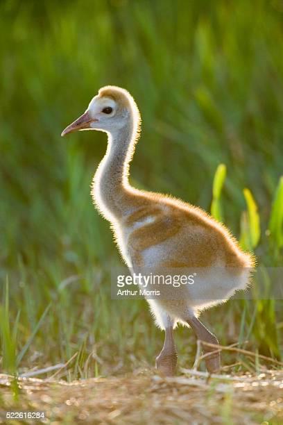 Sandhill Crane Standing on Nest