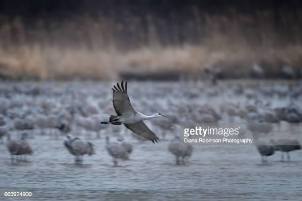 Sandhill Crane takes flight in the early morning on the Platte River, Nebraska