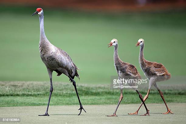 Sandhill Crane walks across a green with chicks during the first round of the Arnold Palmer Invitational Presented by MasterCard at Bay Hill Club and...