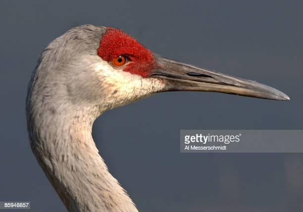 A sandhill crane watches play near the 18th fairway during a Pro Am at the 2006 Honda Classic March 6 at the Country Club at Mirasol in Palm Beach...