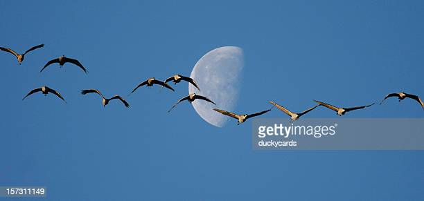 sandhill cranes and half moon - crane bird stock pictures, royalty-free photos & images