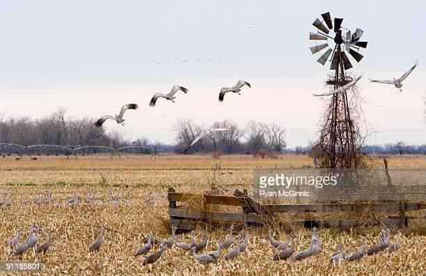 Sandhill Cranes and Windmill