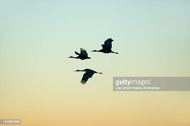 Sandhill cranes fly over the Bosque del Apache National Wildlife Refuge at sunrise near San Antonio and Socorro New Mexico