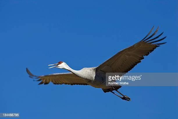 Sandhill Cranes (Grus canadensis) flying, Bosque del Apache Wildlife Refuge, New Mexico, North America, USA