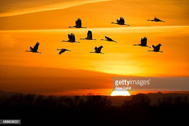 Sandhill cranes flying in orange sunrise sky