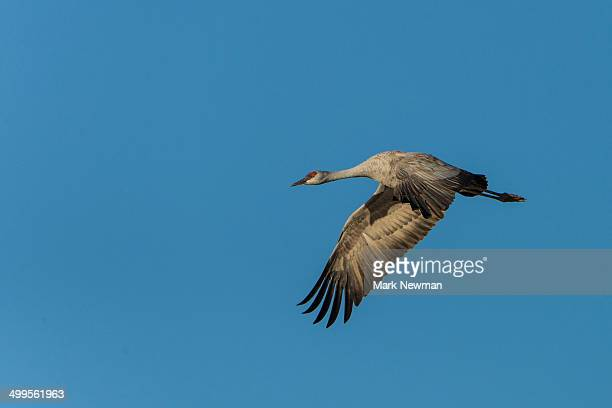 Sandhill Cranes, Grus Canadensis