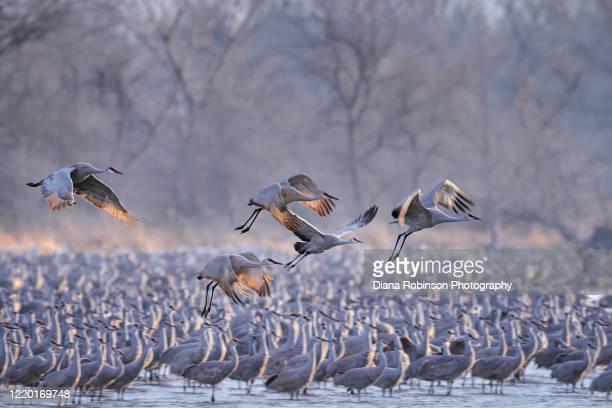 sandhill cranes in flight above a flock of roosting cranes in the early morning light on the platte river near kearney, nebraska - カナダヅル ストックフォトと画像