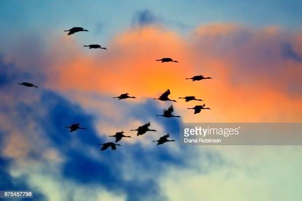 sandhill cranes (grus canadensis) in flight at sunrise, kearney, nebraska, usa - カナダヅル ストックフォトと画像
