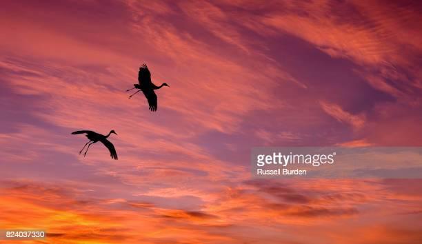 sandhill cranes in flight in bosque del apache - ショッキングピンク ストックフォトと画像