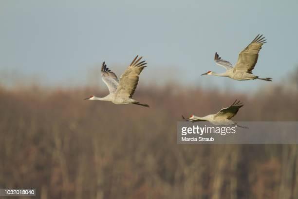 sandhill cranes  in flight over the wetlands - crane bird stock photos and pictures