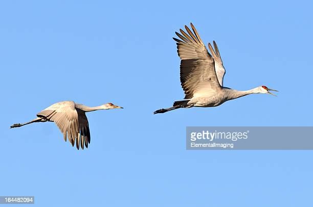Sandhill Cranes (Grus Canadensis) in Flight