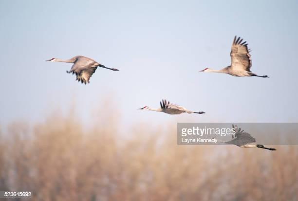 sandhill cranes in flight - カナダヅル ストックフォトと画像