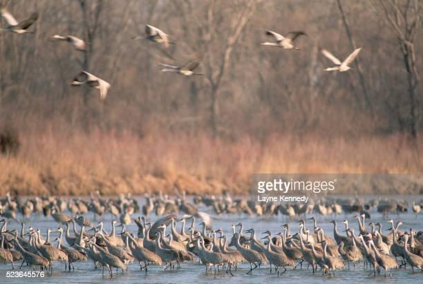 sandhill cranes in platte river - カナダヅル ストックフォトと画像