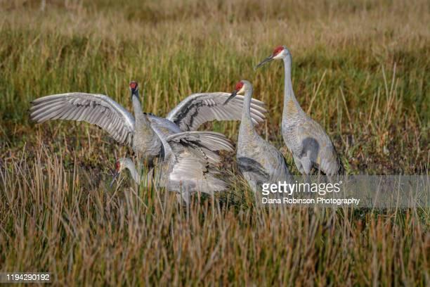 sandhill cranes in the early morning light at harns marsh near lehigh acres, fort myers, southwest, florida - moeras stockfoto's en -beelden