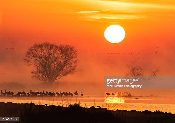 sandhill cranes in the misty sunrise - マーセド郡 ストックフォトと画像