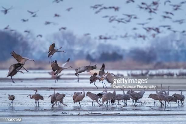 sandhill cranes landing on a sandbar in the platte river near kearney, nebraska - カナダヅル ストックフォトと画像
