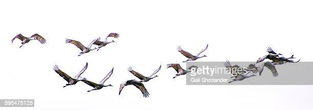 sandhill cranes migrating - flock of birds stock pictures, royalty-free photos & images