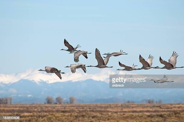 Sandhill Cranes Over Monte Vista, Colorado