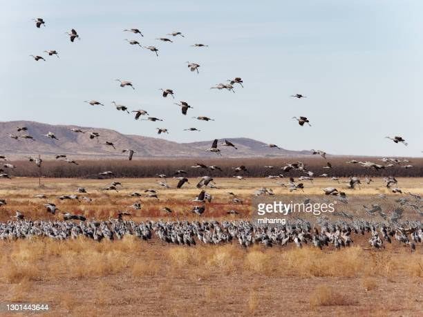 sandhill cranes - arizona bird stock pictures, royalty-free photos & images