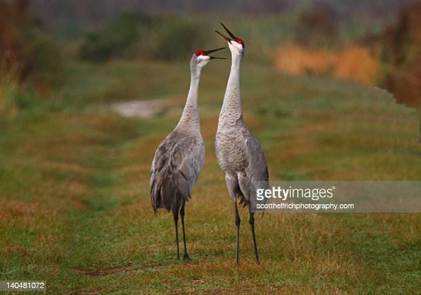 sandhill cranes - カナダヅル ストックフォトと画像