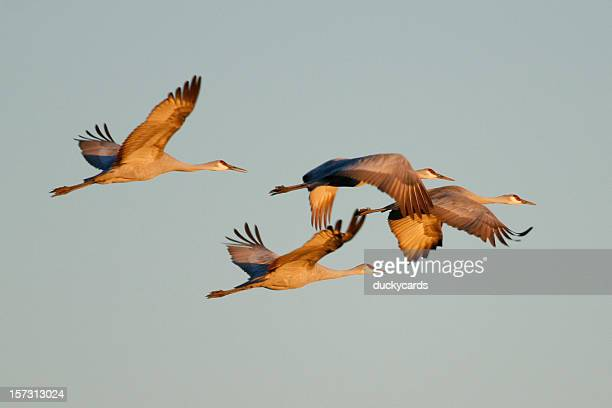 sandhill cranes - birds flying stock photos and pictures