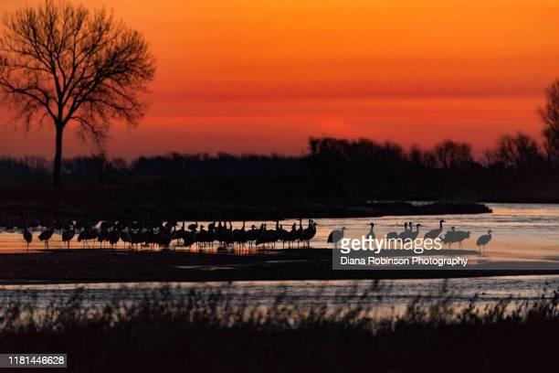 sandhill cranes roosting on the platte river at sunrise near gibbon bridge, nebraska - カナダヅル ストックフォトと画像