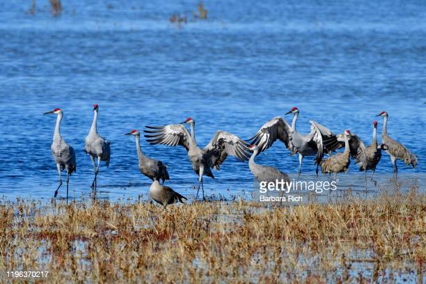 sandhill cranes run to defend their territory against a river otter during their winter migration at llano seco national wildlife refuge in northern california - カナダヅル ストックフォトと画像