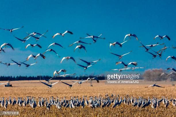 sandhill cranes take flight over cornfield at sunrise, platte river, near grand island, nebraska - カナダヅル ストックフォトと画像
