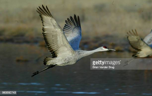 Sandhill cranes takes to the air from the safety a Bosque Del Apache National Wildlife Refuge marsh on a Fall morning on it's way to feed at a local...