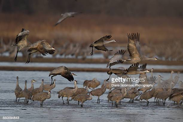 Sandhill Cranes taking flight on the Platte River