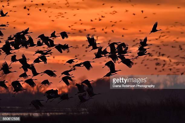 Sandhill Cranes taking flight over the Platte Rive
