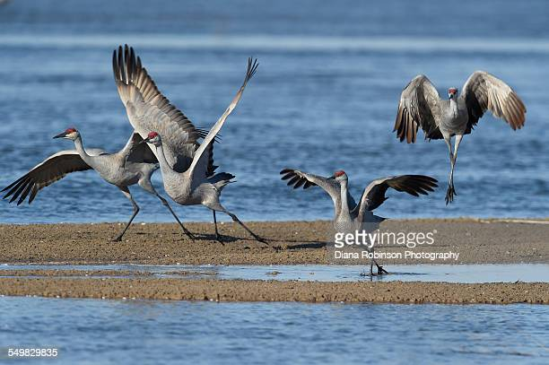 sandhill cranes taking off in the morning from the - カナダヅル ストックフォトと画像