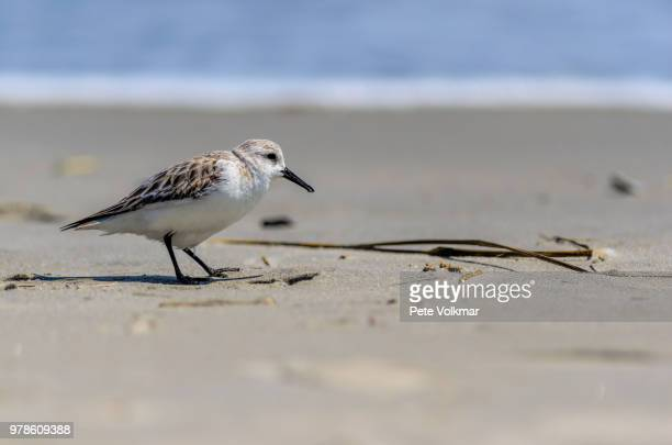 sandpiper bird walking on beach, cape may county, new jersey, usa - wader bird stock photos and pictures