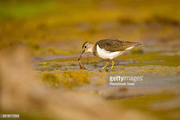 Sandpiper foraging for food