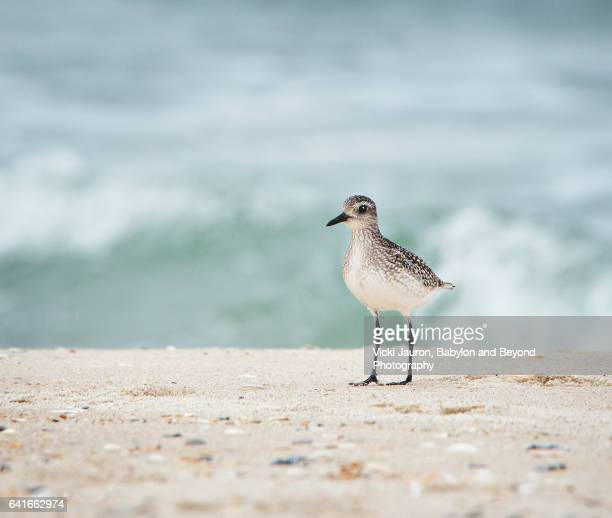 sandpiper on sand against wave at jones beach, long island, ny. - wader bird stock photos and pictures