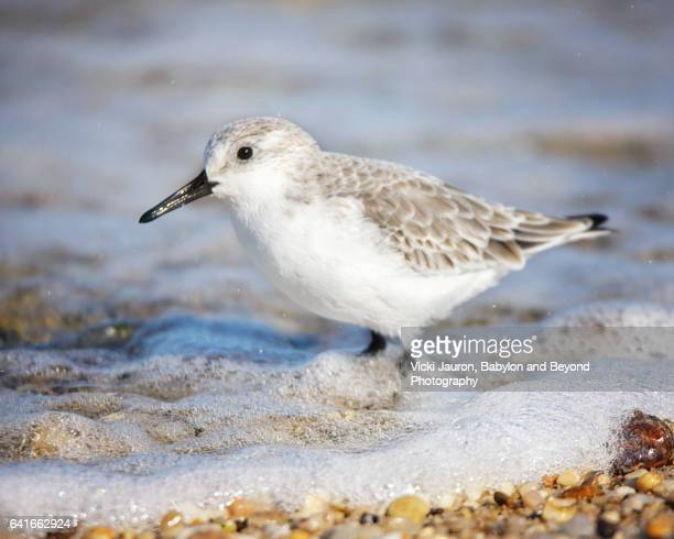sandpiper or sanderling wading in foamy water at caumsett state park - huntington suffolk county new york state stock pictures, royalty-free photos & images