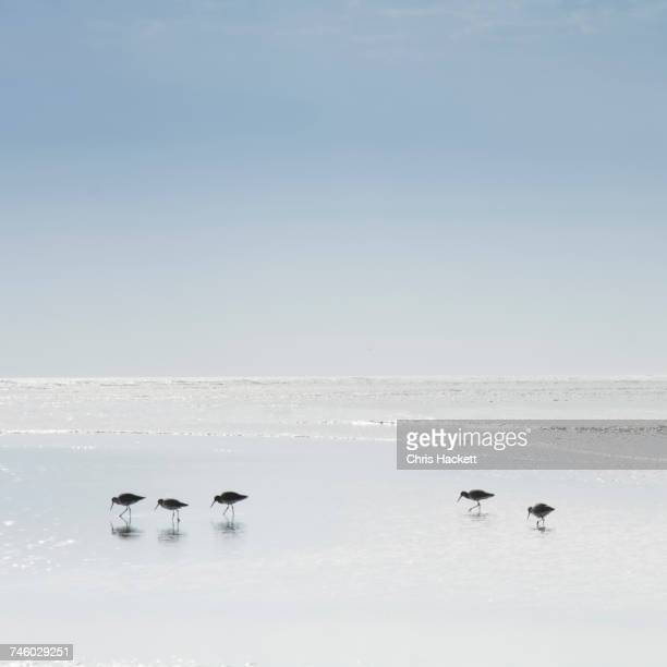 sandpipers wading in sea - hackett stock photos and pictures