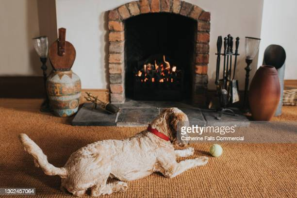 sandy coloured cockapoo lies in front of an open fire looking at his tennis ball - pet toy stock pictures, royalty-free photos & images