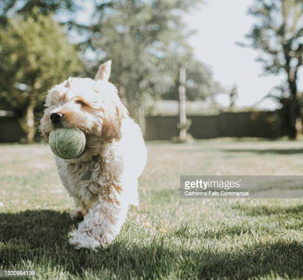 a sandy coloured cockapoo puppy fetches a ball in a sunny garden - animal body part stock pictures, royalty-free photos & images
