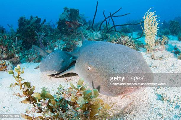 sandy dogs - nurse shark stock photos and pictures
